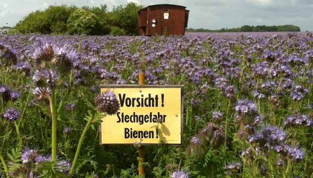 Phacelia-Feld und Bienenwagen