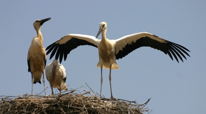 Störche auf dem Nest